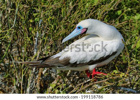 Red-footed Booby (Sula sula, white morph) on Genovesa Island, Galapagos. - stock photo