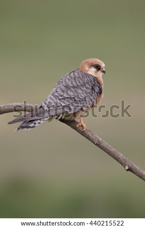 Red-footed falcon, Falco vespertinus, single female on branch, Hungary, May 2016