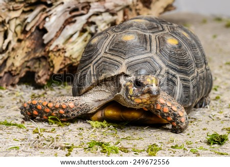 Red Footed Tortoise - stock photo