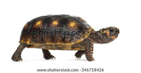 Red-footed tortoises (1,5 years old), Chelonoidis carbonaria, in front of a white background - stock photo
