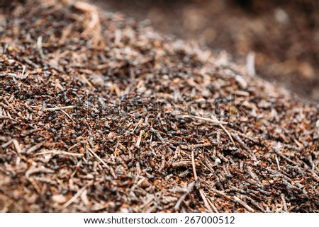 Red Forest Ants (Formica Rufa) In Anthill Macro Photo, Big Anthill Close Up, Ants Moving In Anthill. Background Of Red Ant Colony - stock photo