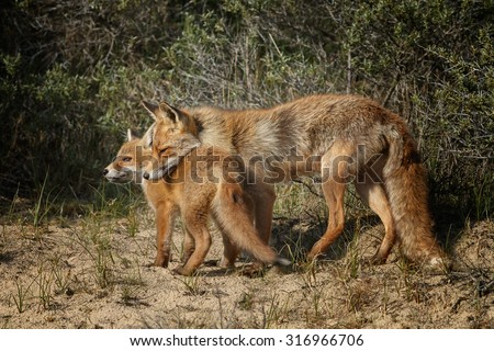 Red fox and her cub cuddling - stock photo
