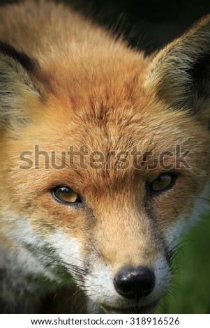 Red Fox close-up looking into camera - stock photo