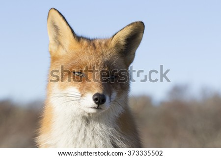 Red Fox Close Up on a Sunny Day