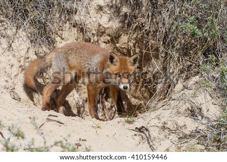 Red fox cub in nature in springtime - stock photo