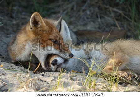 Red fox cub playing - stock photo