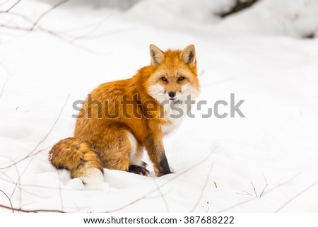Red fox in a snowy winter - stock photo