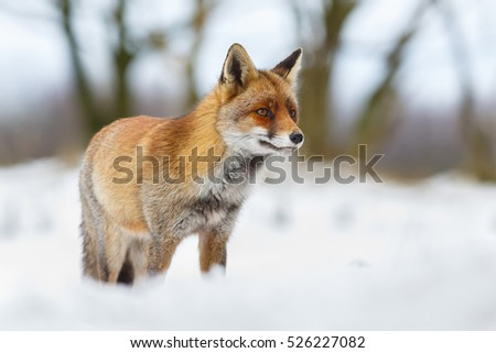 red fox in a winter setting