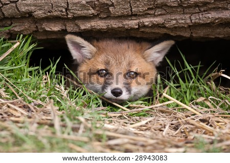 Red Fox in British Countryside - stock photo