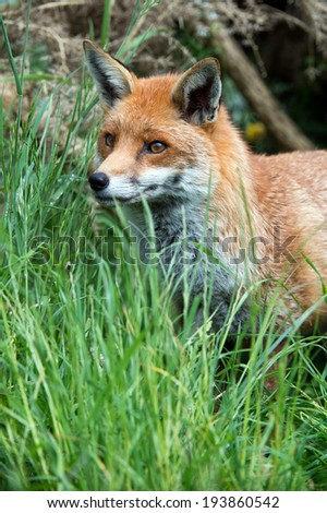 Red Fox in long green grass at the edge of a forest/Red Fox/Red Fox (vulpes vulpes) - stock photo