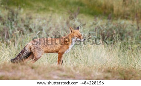 Red fox in naturen on a sunny summer day