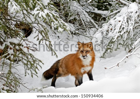 Red Fox in Snow - stock photo