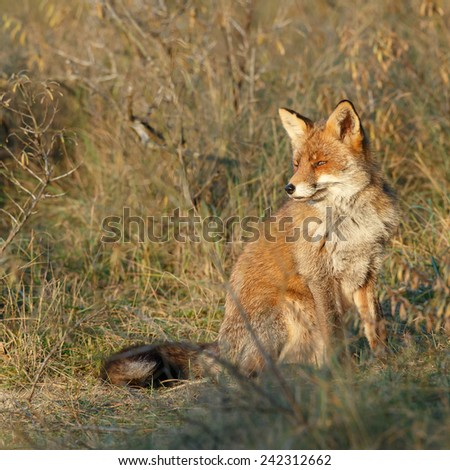 Red fox in sunlight, soft focus - stock photo
