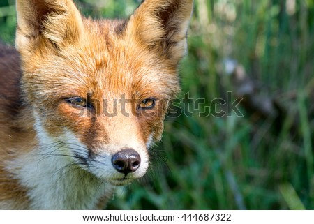 Red fox in the Netherlands - stock photo