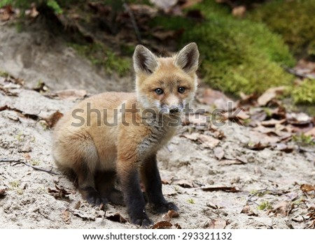 Red fox kit sitting in sand