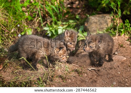 Red Fox Kit (Vulpes vulpes) Conference - captive animals - stock photo