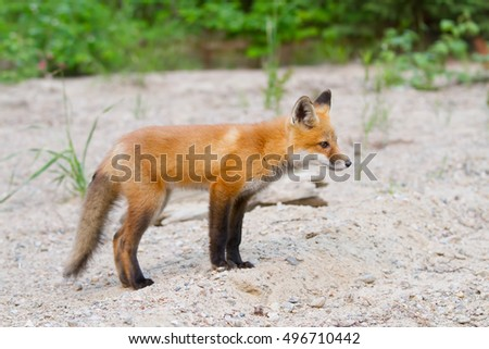 Red fox kit (Vulpes vulpes) in Algonquin Park in autumn