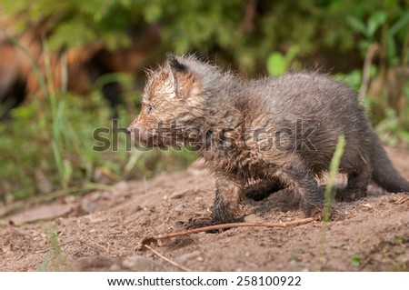 Red Fox Kit (Vulpes vulpes) Side View - captive animal - stock photo