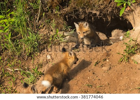 Red Fox Kit (Vulpes vulpes) Watches Others Run Up to Den - captive animals