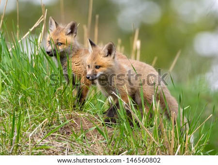 Red Fox Kits / pubs. Yellowstone National Park - stock photo