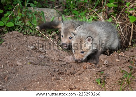 Red Fox Kits (Vulpes vulpes) Crawl out of Den - captive animals - stock photo