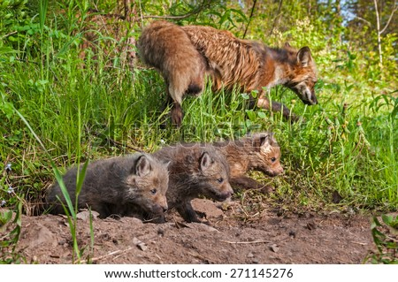 Red Fox Kits (Vulpes vulpes) Crawl out of Den - vixen in background - captive animal - stock photo