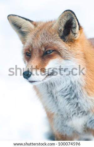 red fox (lat. vulpes vulpes) in winter, captive - stock photo