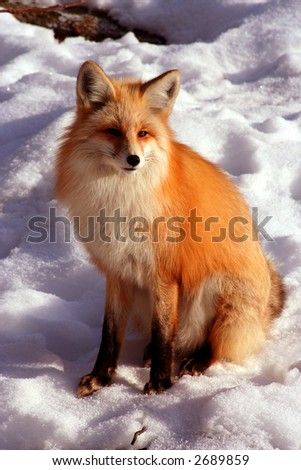 Red Fox laying in the sun on cold winter day - stock photo