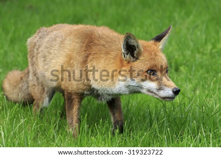 Red Fox on grass looking for food - stock photo