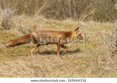Red fox on the hunt - stock photo