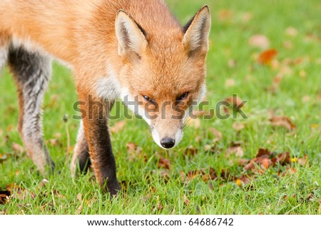 Red Fox Prowling in Autumn Fall Leaves with Sly Eyes - stock photo
