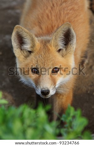 Red Fox pup in Saskatchewan - stock photo