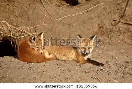 Red Fox pups outside their den - stock photo