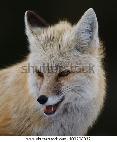 Red Fox (rare Cascade subspecies), highly detailed portrait, isolated against a dark background - stock photo