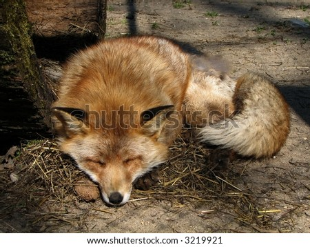 Red fox resting - stock photo