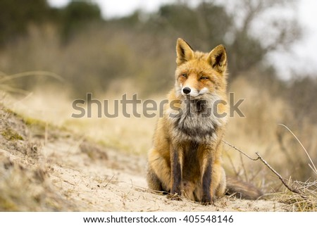 Red Fox Sitting on the Sand in the Dunes