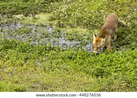 Red Fox Standing by a Swamp