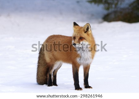Red fox standing in the snow