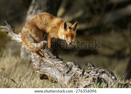 Red fox standing on a fallen tree - stock photo