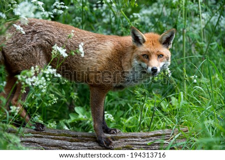 Red Fox standing on log looking at viewer through thick foliage/Red Fox/Red Fox - stock photo
