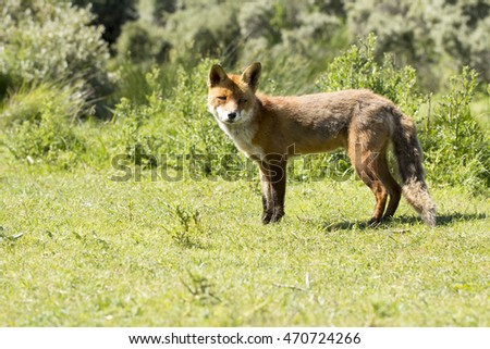 Red Fox Standing on the Grass on A Sunny Day