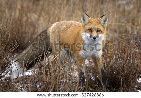 Red fox stops to look at the camera.  Autumn in Churchill, Manitoba, Canada