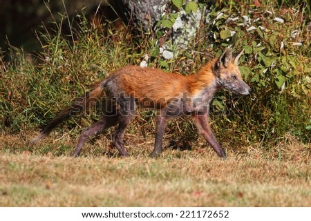 Red Fox (vulpes) Inflicted with Mange in a field - stock photo
