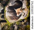 Red Fox (Vulpes vulpes) - stock photo