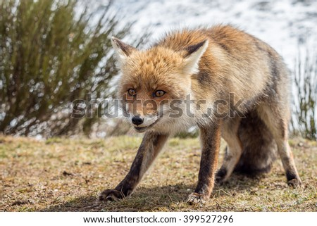 Red fox (Vulpes vulpes) caught in the act