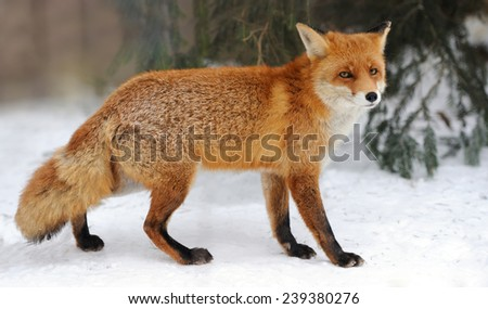 Red Fox (Vulpes vulpes) in winter time - stock photo