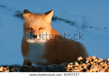 Red Fox. Vulpes vulpes. Portrait of the Red fox in beams of the sun - stock photo