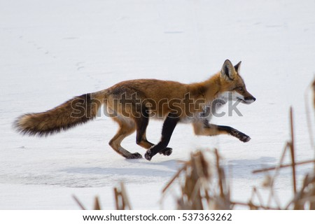 red fox (vulpes vulpes) running on snow in eastern Ontario winter