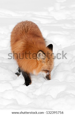 Red Fox (Vulpes vulpes) Sniffs in Snow - captive animal