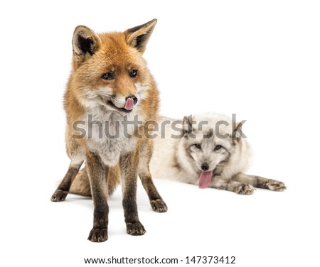 Red Fox, Vulpes vulpes, standing and Arctic Fox, Vulpes lagopus, lying, isolated on white - stock photo
